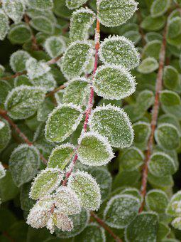 Medlar, Green Leaves, Frost