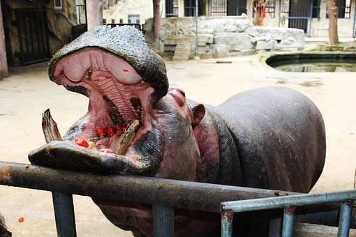 Hippo, Mouth, Eating, Open This Month, Feed, Zoo