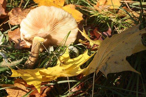 Mushroom, Screen Fungus, Disc Fungus, Lamellar