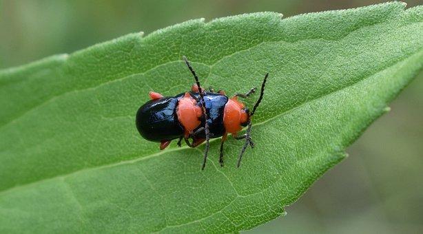 Shiny Flea Beetle, Beetle, Beetles, Bug, Insects