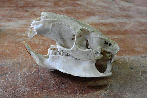Skull, Skeleton, Teeth, Anatomy, Jaw, Animal Skull