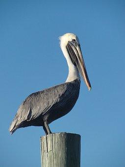 Bird, Pelican, Fence, Sky, Beak, Harbor, Harbour