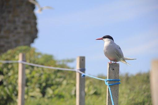 Bird, Arctic Tern, Farne Islands, Fence, Wildlife