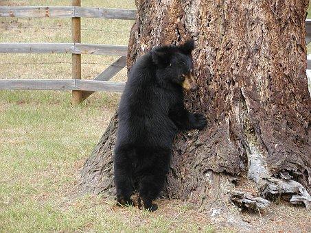 Bear, Cub, Animal, Black, Grizzly, Wild, Wildlife