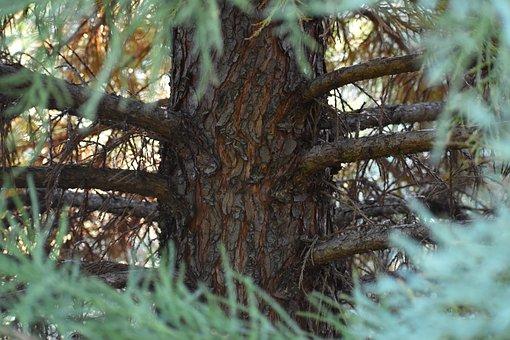 Sequoia, Tree, Nature, Bark, Conifer, Branch, Evergreen