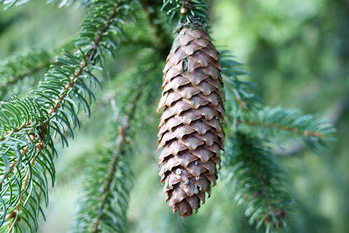 Pine Cone, Conifer, Tree, Nature, Branch, Growth