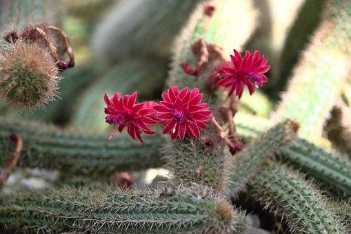 Cactus, Flowers, Plant, Red Flowers, Petals, Bloom
