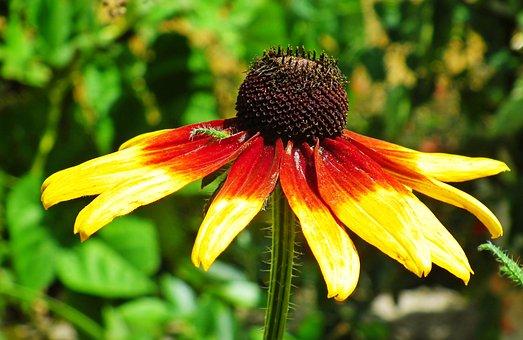 Coneflower, Flower, Garden, Petals, Coneflower Petals