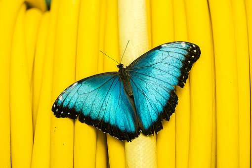 Butterfly, Insect, Winged Insect, Butterfly Wings