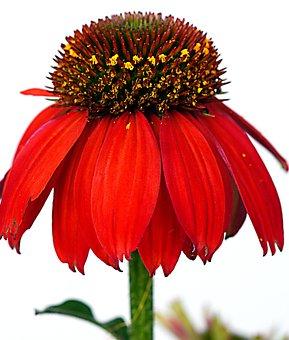 Coneflower, Flower, Red Flower, Petals, Red Petals