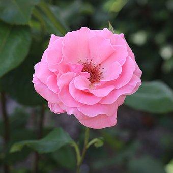 Rose, Pink Rose, Flower, Rose Bloom, Petals