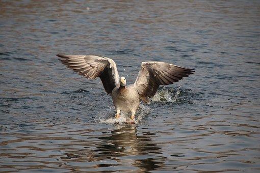 Bar-headed Goose, Bird, Goose, Animal, Water Bird