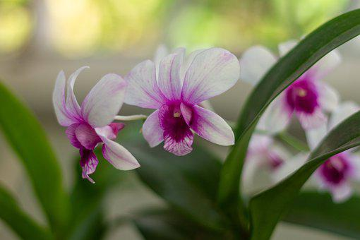 Orchids, Flowers, Dendrobium, Orchid Flowers