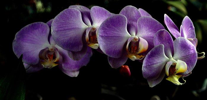 Orchids, Phalenopsis, Flowers, Purple Orchids
