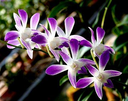 Orchids, Dendrobium, Flowers, Purple Orchids