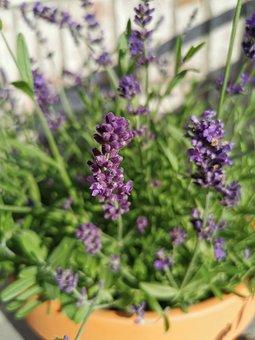 Lavender, Flowers, Plant, Plant Pot, Bloom, Leaves