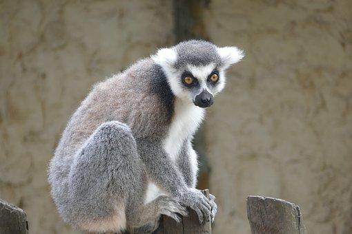 Animal, Ring-tailed Lemur, Mammal, Lemur, Primate