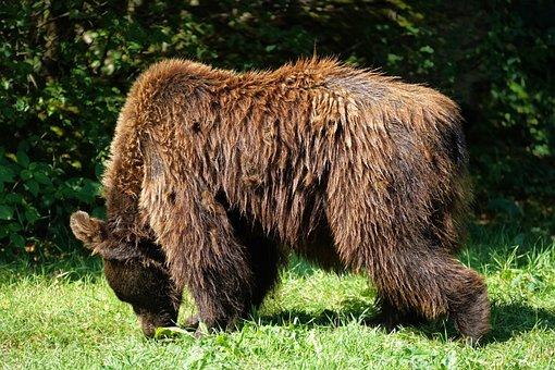 Bear, Brown Bear, Animal, Mammal, Wildlife, Fur, Furry