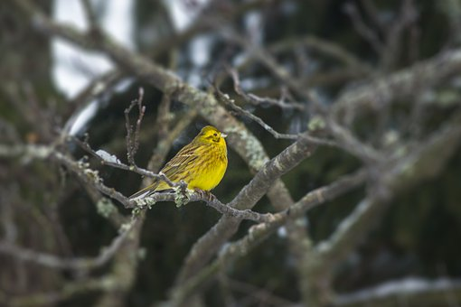 Yellowhammer, Bird, Perched, Animal, Feathers, Plumage