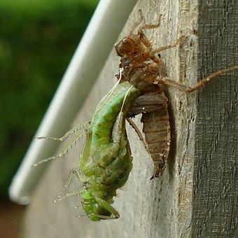 Dragonfly, Odonata, Bug, Peeling