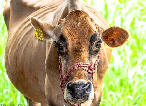 Cow, Cattle, Livestock, Farm, Animal, Pasture, Mammal