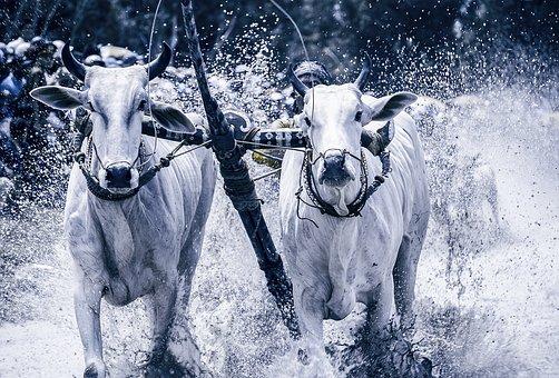 Cow Racing Festival, Cows, An Giang, Tinh Bien