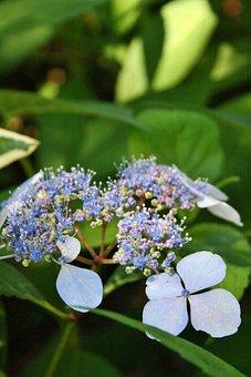 Hydrangea, Flowers, Plant, Petals, Buds, Bloom, Leaves