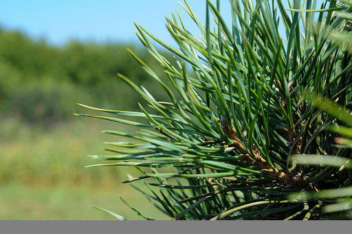 Pine, Needles, Leaves, Foliage, Conifer, Branch, Tree