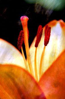 Lily, Nature, Flower, Flora, Plant, Up Close, Botany