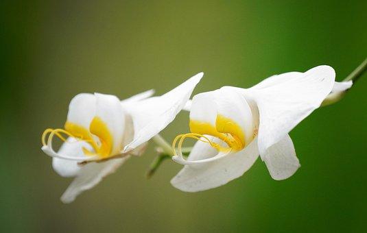 Orchids, Flowers, White Orchids, White Flower, Petals