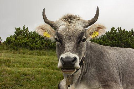 Cow, Animal, Mammal, Livestock, Pasture, Calf, Ruminant