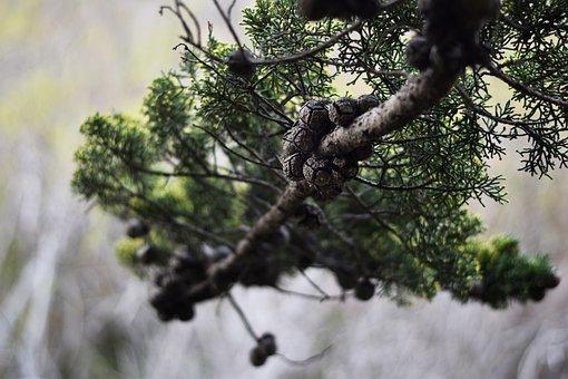 Cupressaceae, Conifer, Tree, Branch, Background, Nature
