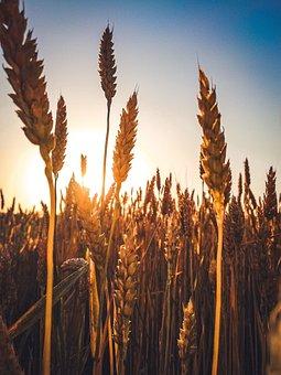 Wheat, Field, Sunset, Cereals, Wheat Field, Sun, Barley