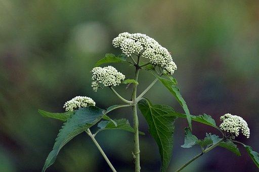 White, Flowers, Hydrangea, Flower Buds, Blooming, Flora