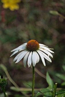 Coneflower, Flower, White Flower, Petals, White Petals
