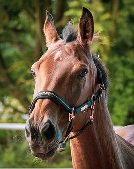 Horse, Animal, Equines, Head, Portrait, Equestrian