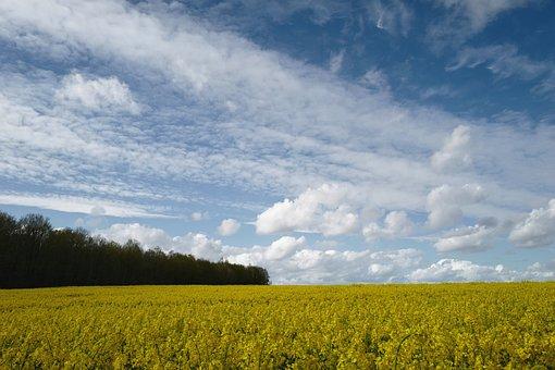 Rapeseeds, Flowers, Field, Rapeseed Field, Sky, Cloud