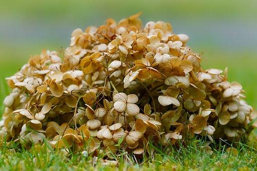 Dried, Flowers, Hydrangea, Nature, Petals, Grass