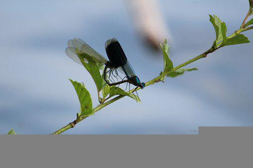 Dragonflies, Insects, Copulation, Macro, Wings