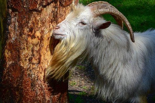 Goat, Horns, Beard, Goatee, Animal, Live Stock