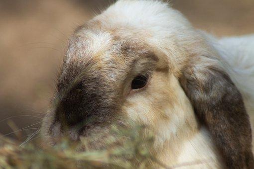 Rabbit, Rabbit Ears, Animal, Bunny, Long Eared
