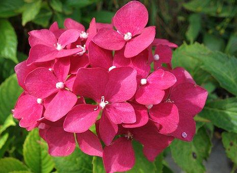 Hydrangea, Flower, Pink Hydrangea, Pink Flowers, Garden
