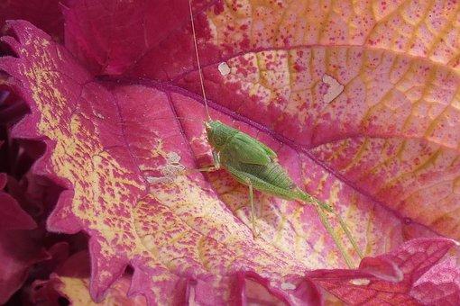 Grasshopper, Insect, Green, Nature, Animal, Entomology