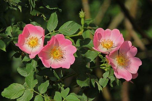 Dog-roses, Flowers, Dog Canina, Petals, Pink Petals
