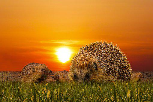 Hedgehog, Sunset, Meadow, Animals, Sting, Family