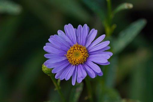 Aster, Flower, Purple Flower, Petals, Purple Petals