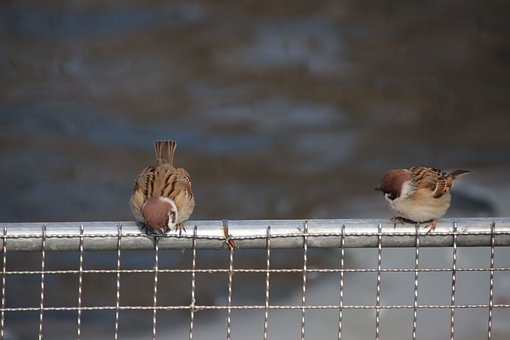 Sparrow, Birds, Perched, Animals, Beaks, Feathers
