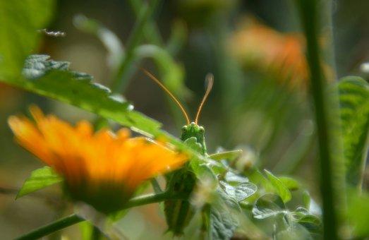 Insect, Grasshopper, Entomology, Species, Macro