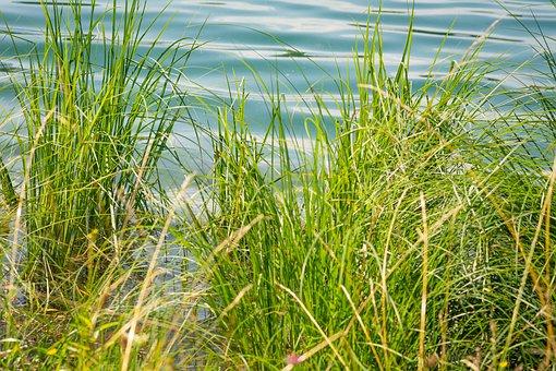 Grass, Nature, Riverbank, Lake, Outdoors, Botany