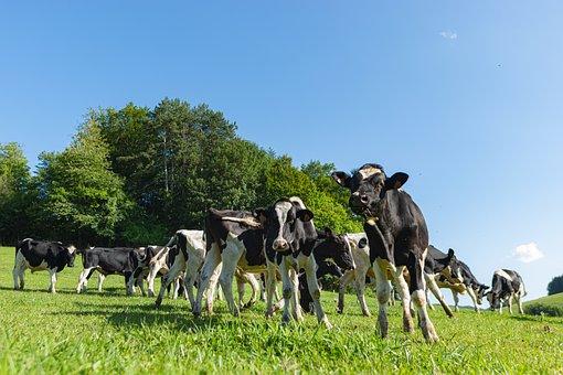 Cow, Calf, Beef, Holstein, Prim'holstein, Pasture